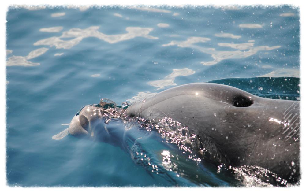 osa-dolphin.jpg