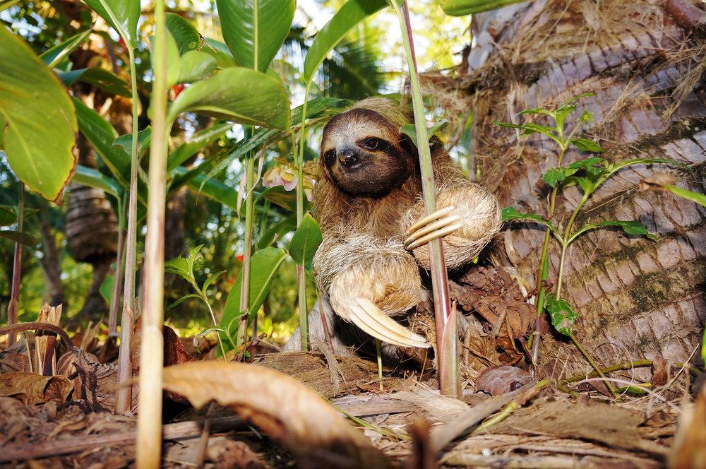 costa-rica-puerto-viejo-sloth-1.jpg
