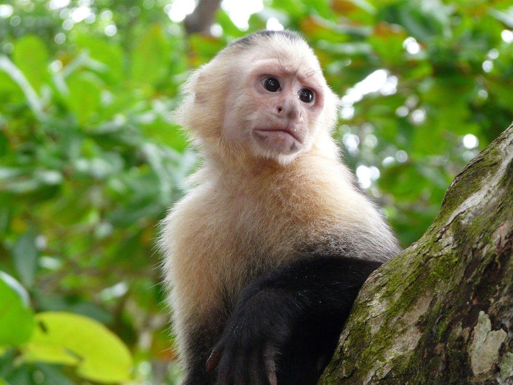 costa-rica-cahuita-capuchin-1.jpg