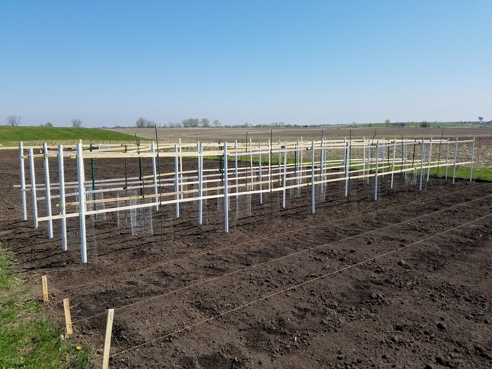 Garden Trellis and rows.jpg