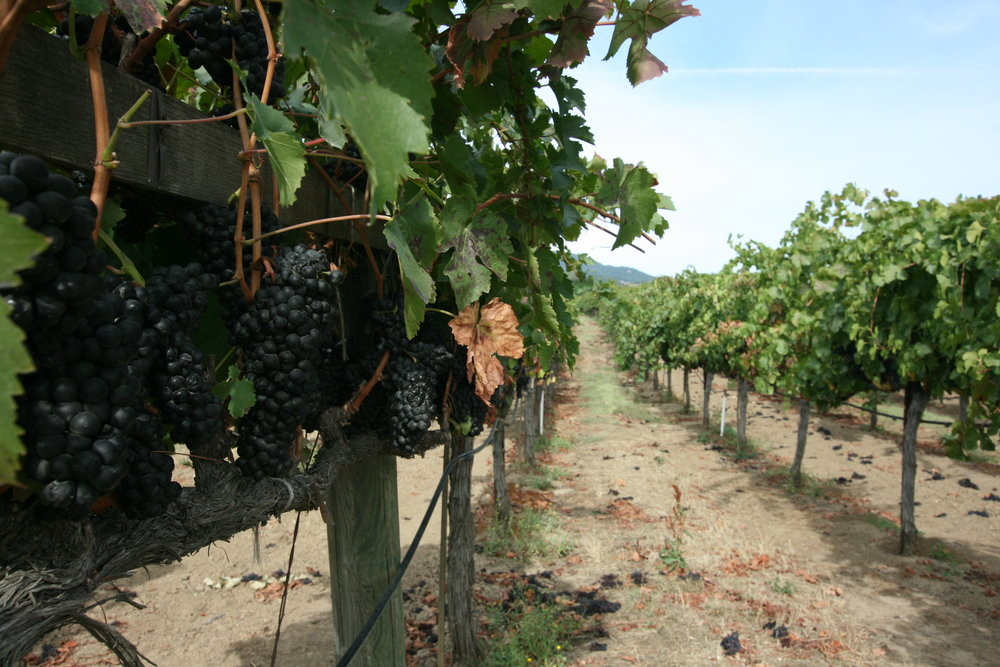 Vineyards awaiting pickers.