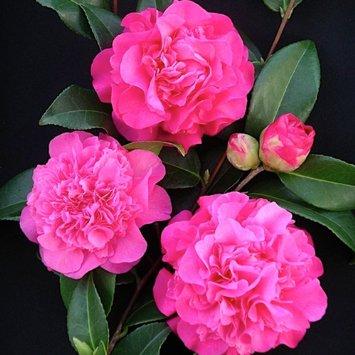 camellia Debbie.jpg