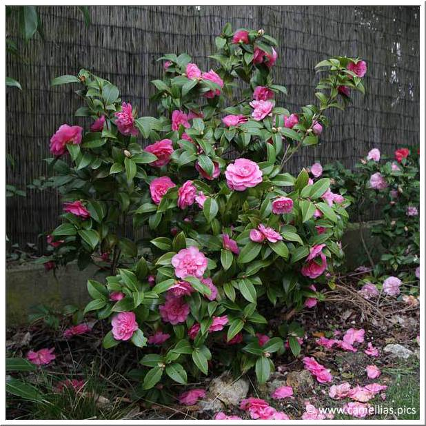 camellia-.jpg