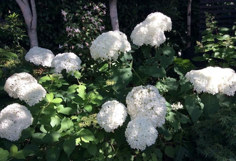 Hydrangea Annabelle.jpg