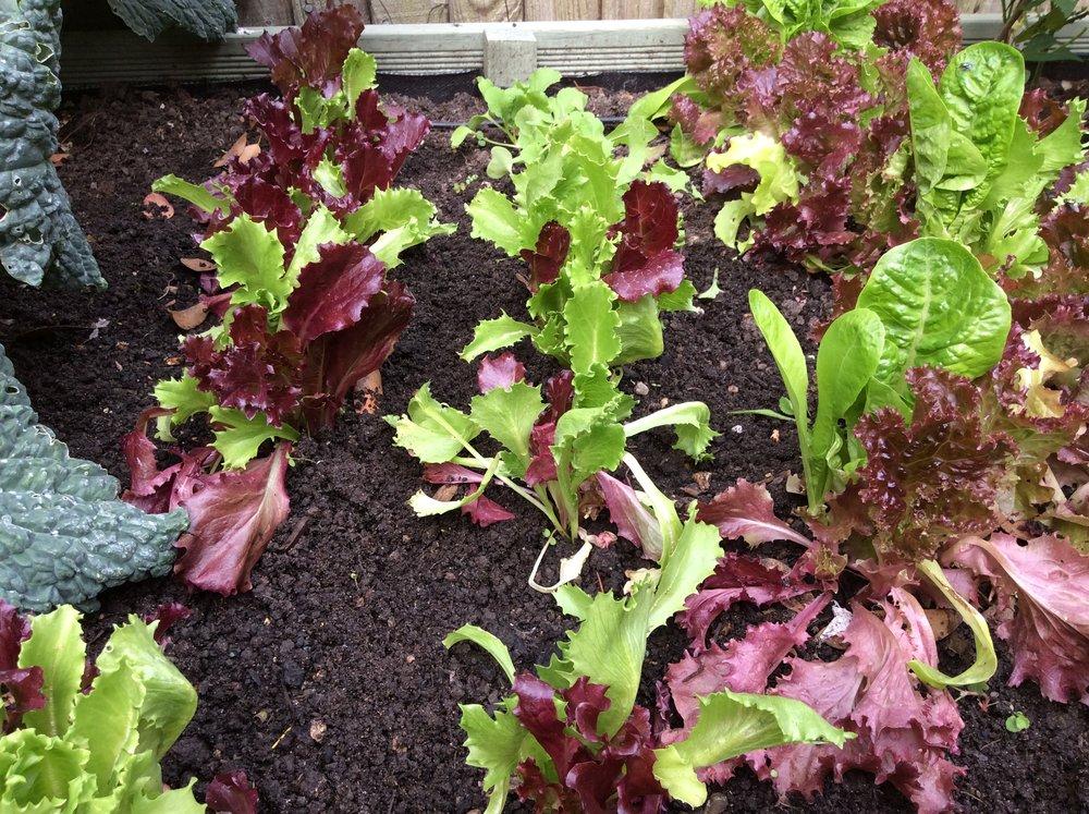 lettuce 2.jpg
