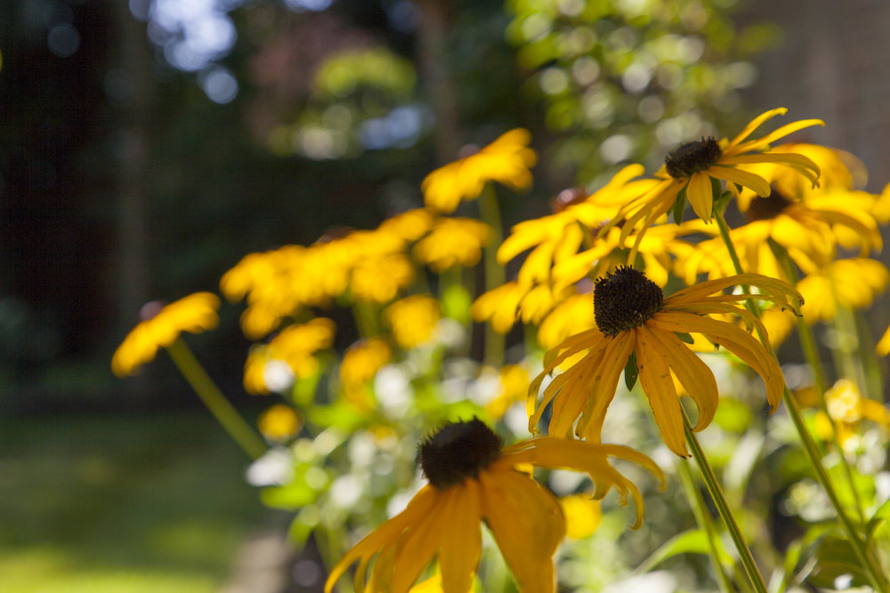 - Glorious gold colours from Rudbeckia 'Goldsturm' light up the late summer garden.