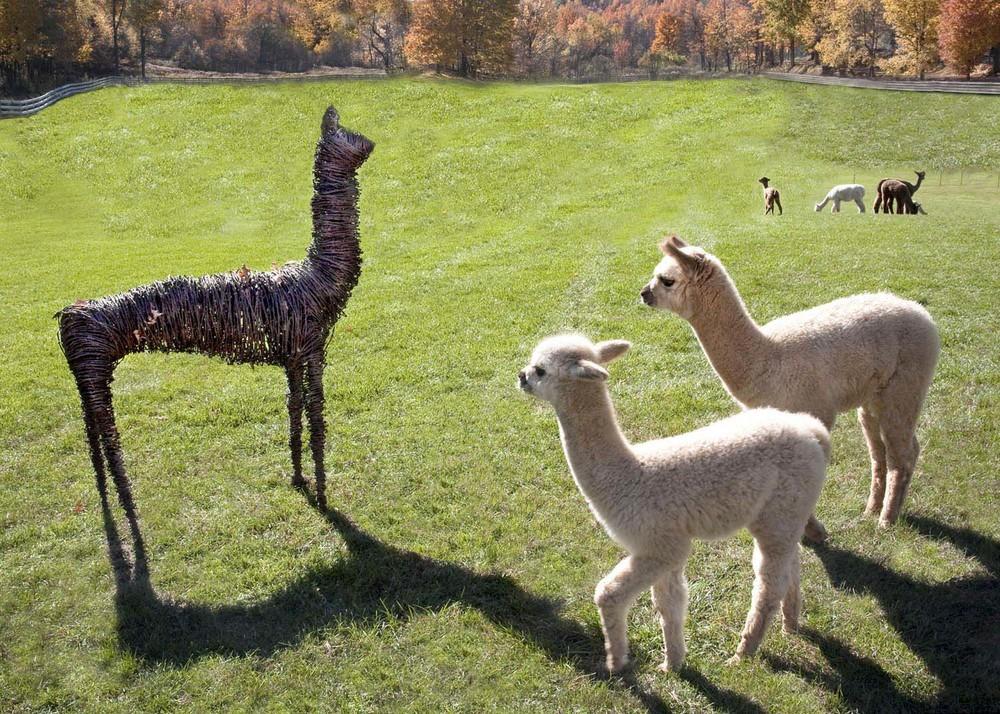 Alpacas & sculpture by Bob Godinez