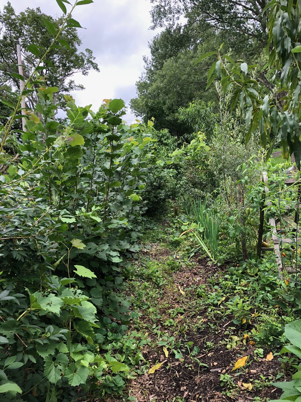 August 2018  The huglekultur beds explosion. We have hazelnuts, blackberries and raspberries on right. But give the massive growth of the blackberries, we are moving them this fall, we are adding mid slop terraces to our existing terraces and these will go with two other that are on the slope behind the root cellar. Under the fruit trees and shrubs on the left, we have a few annuals that are now crowded out. There is a mix of herbaceous perennials (echinacea, comfrey, lavender, yarrow, walking onions, etc.) and a ground cover of both woodland strawberries and some ever bearing strawberries.