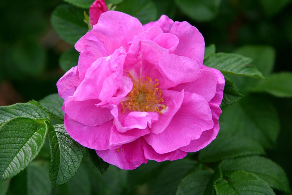 502 pink.jpg