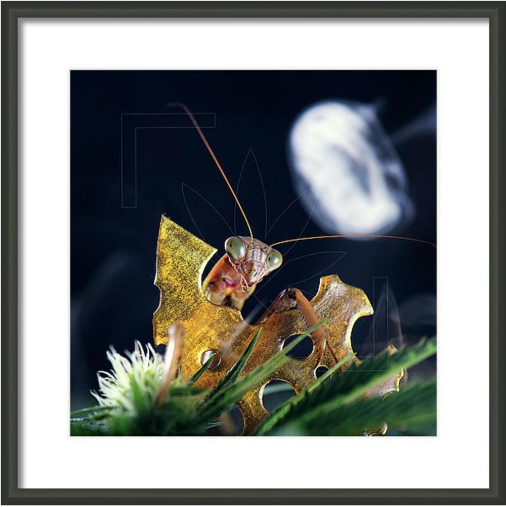 peeping-mantis-framed.png