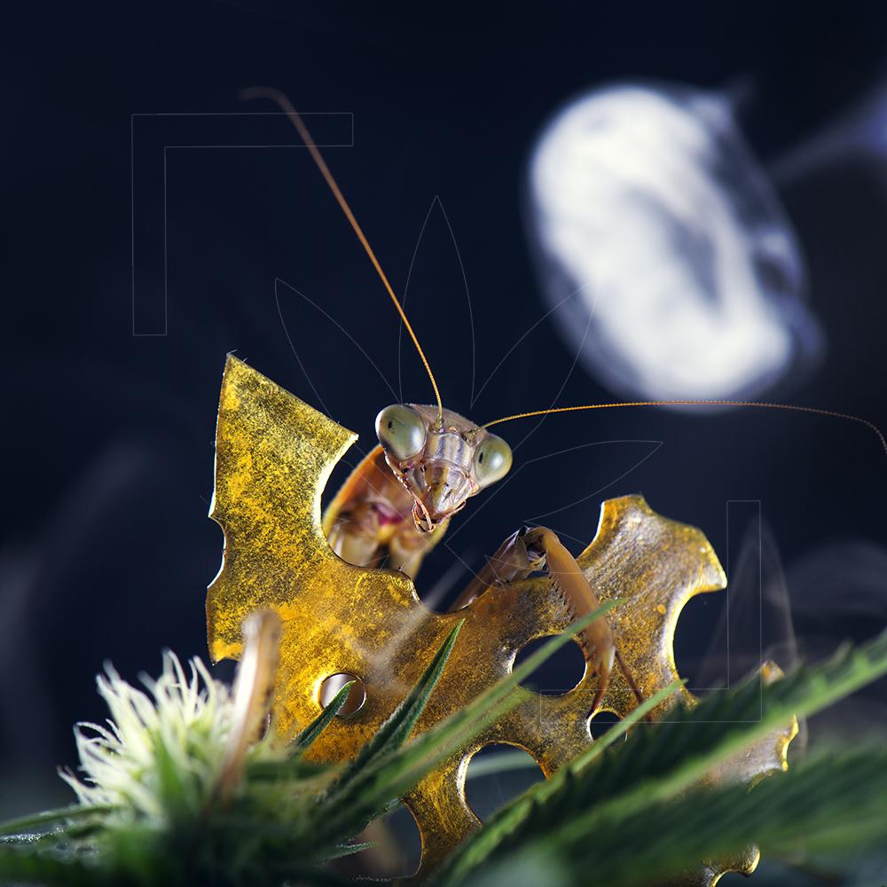 00028 Peeping Mantis.jpg