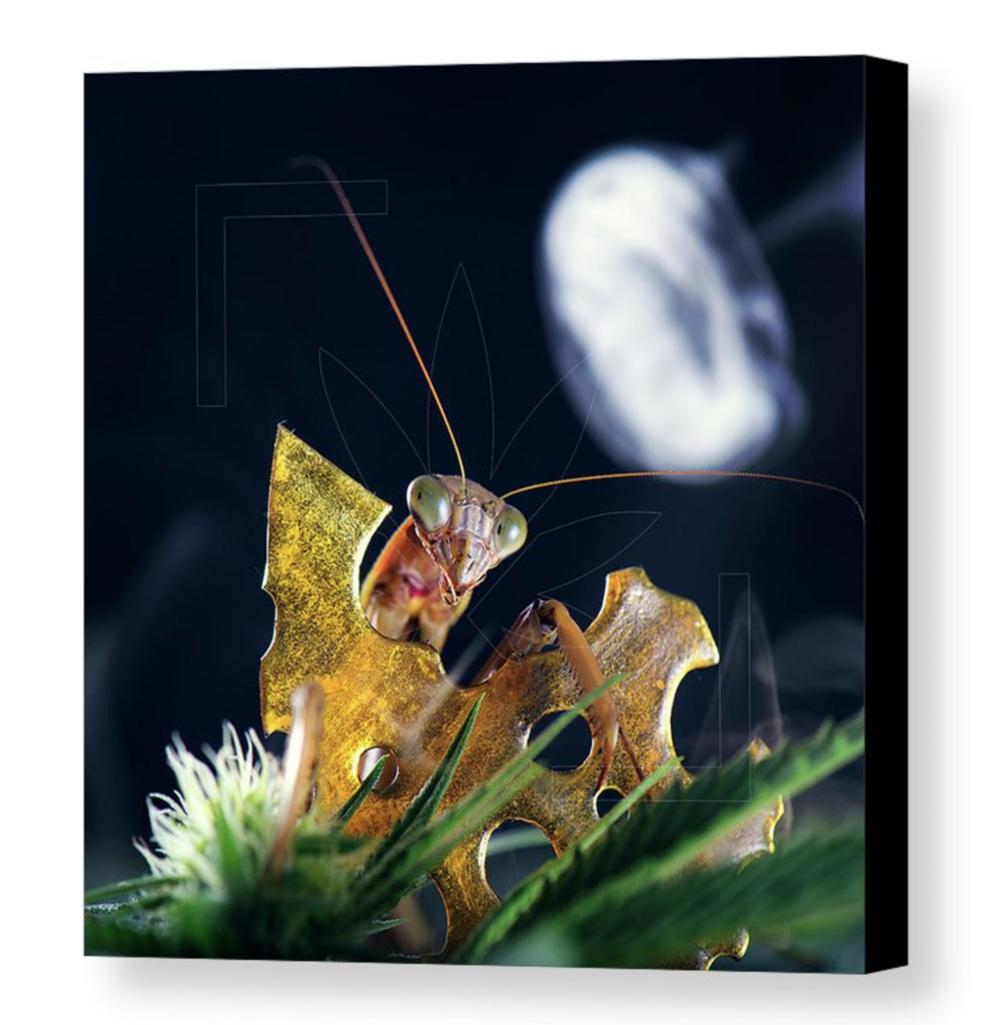 """Peeping Mantis""Canvas / $70 - $150"