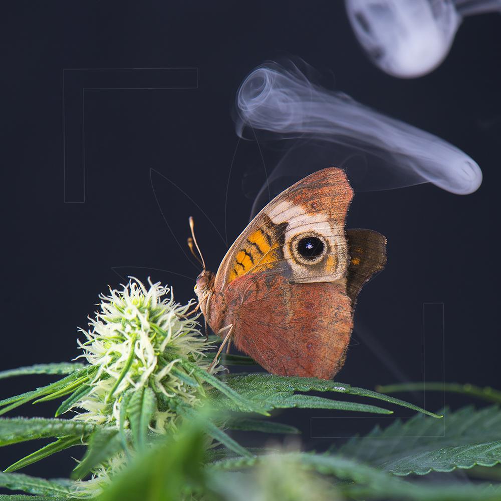 Budderflower