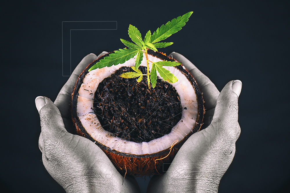 Healing Coconut