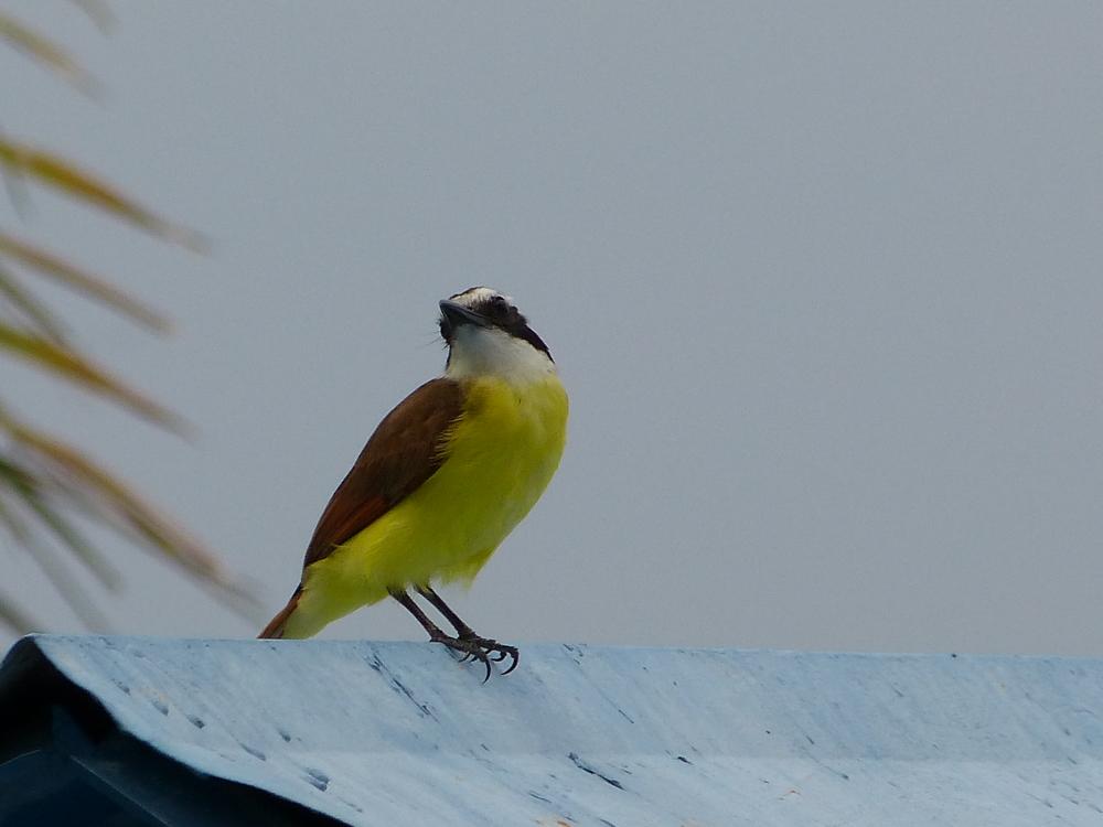 yellowbirdonroof
