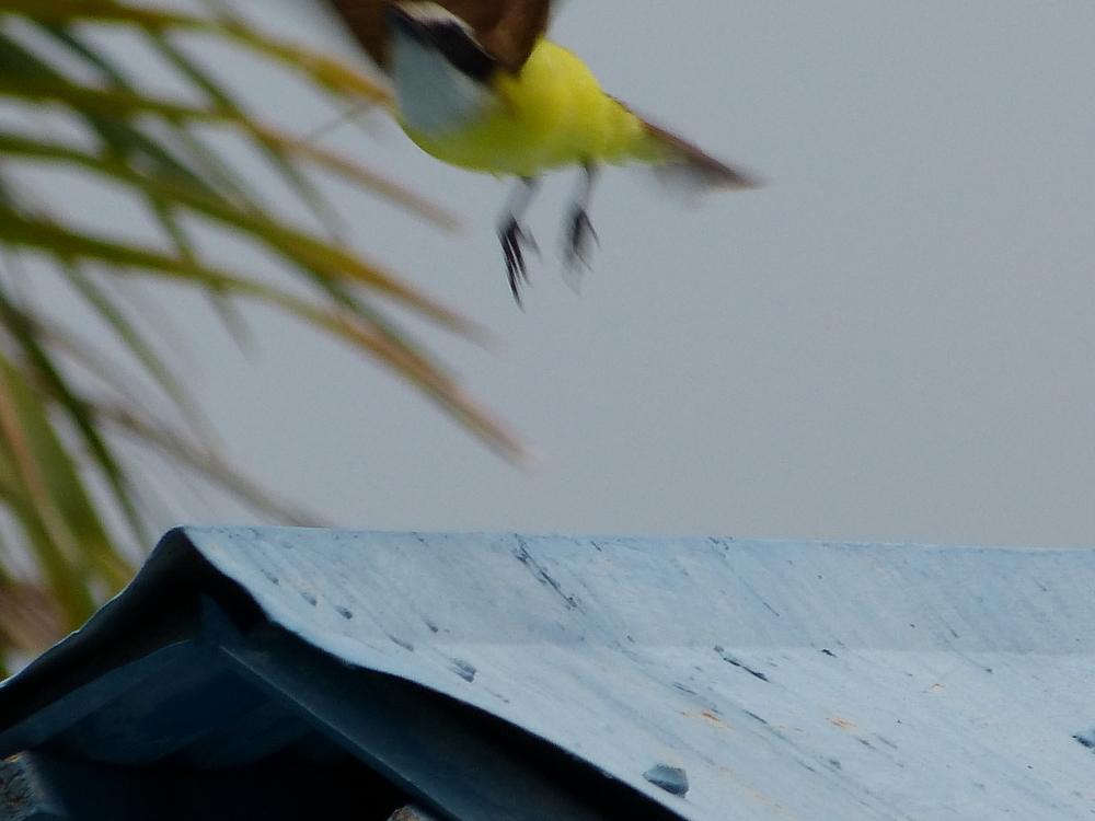 flyingyellowbird