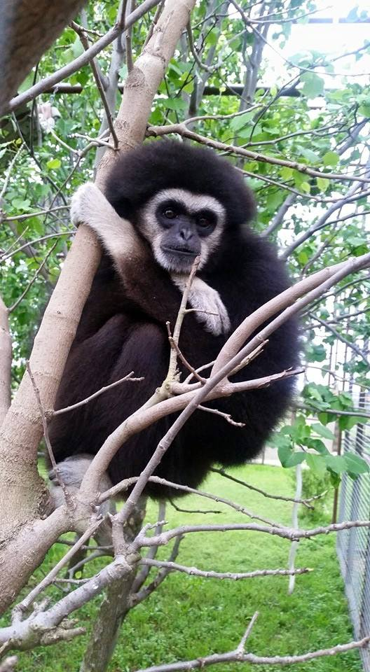 A Gibbon named Princessa. (photo courtesy Black Beauty Ranch)