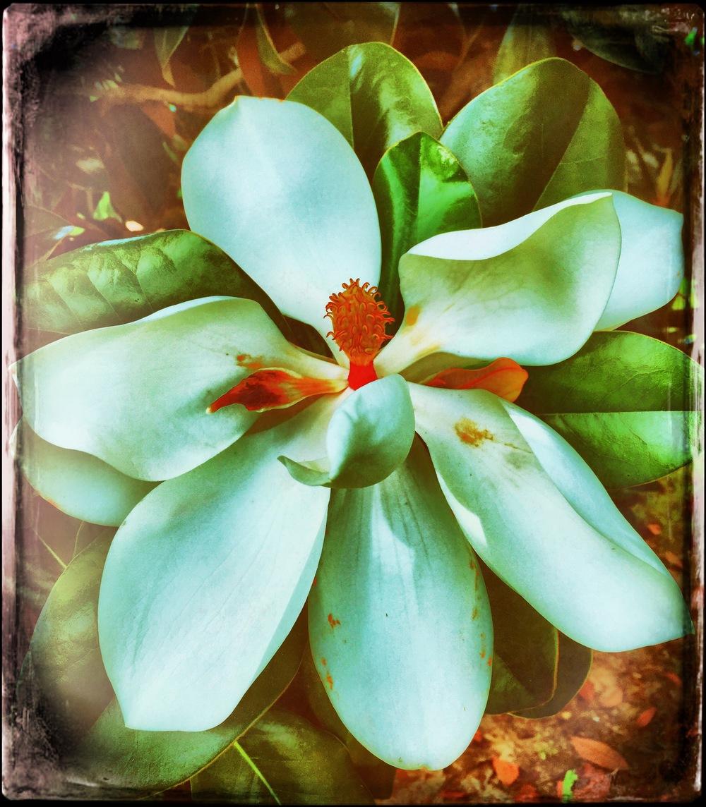 magnoliatwo
