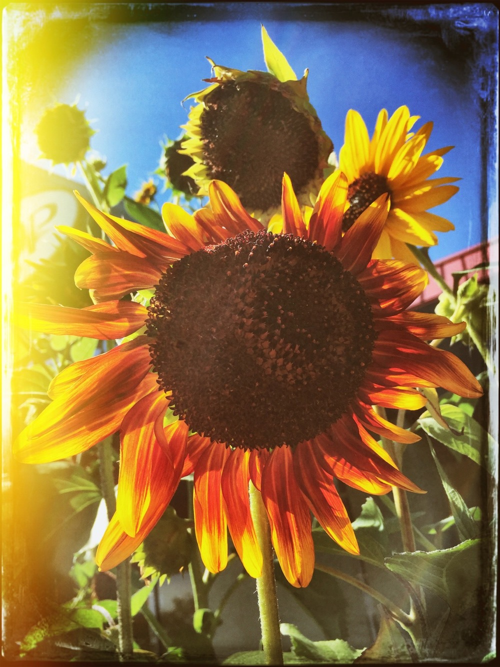 sunflower2015