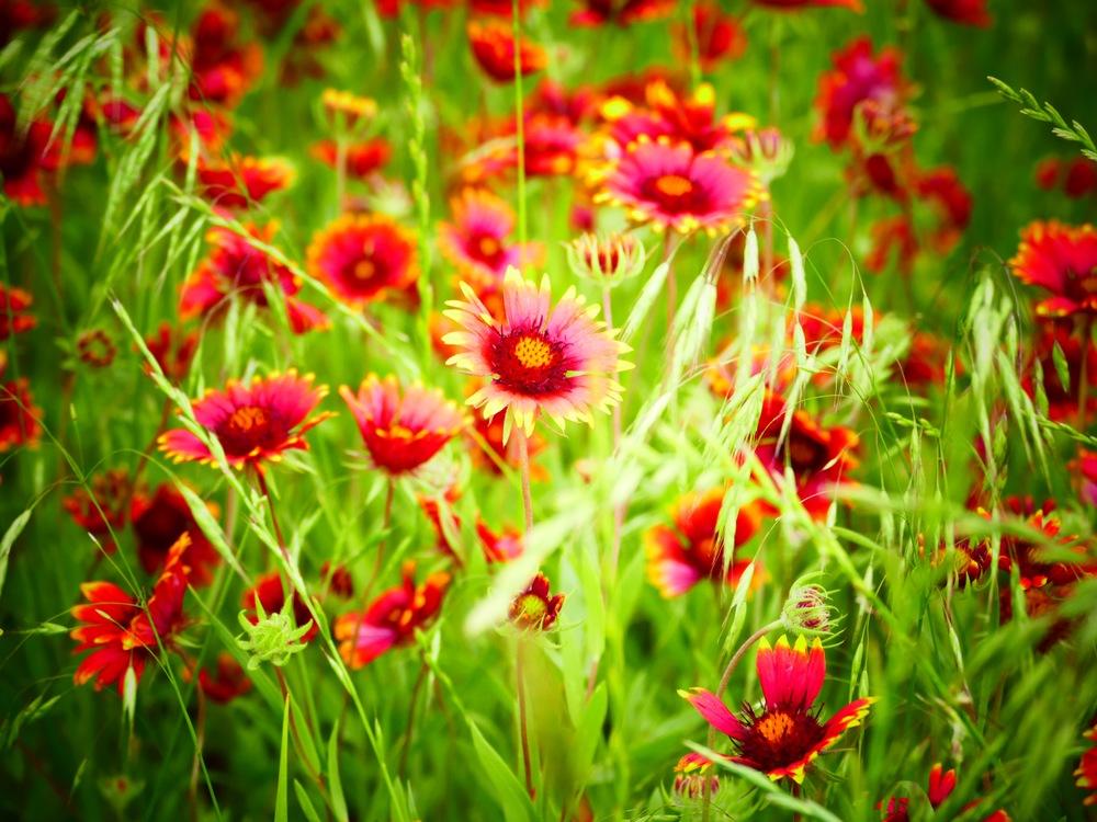 texashighwaywildflowers