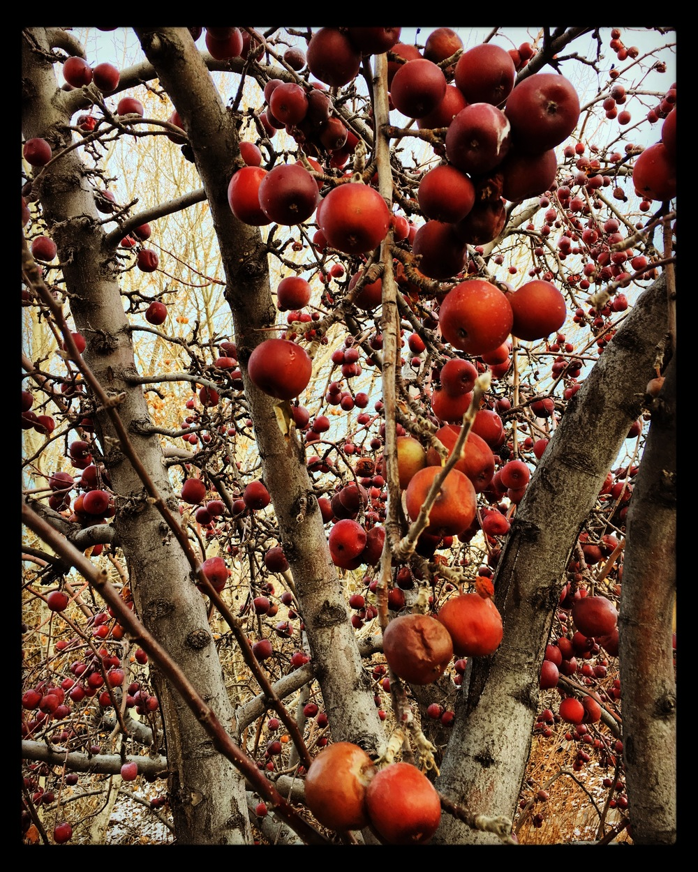 winterapples