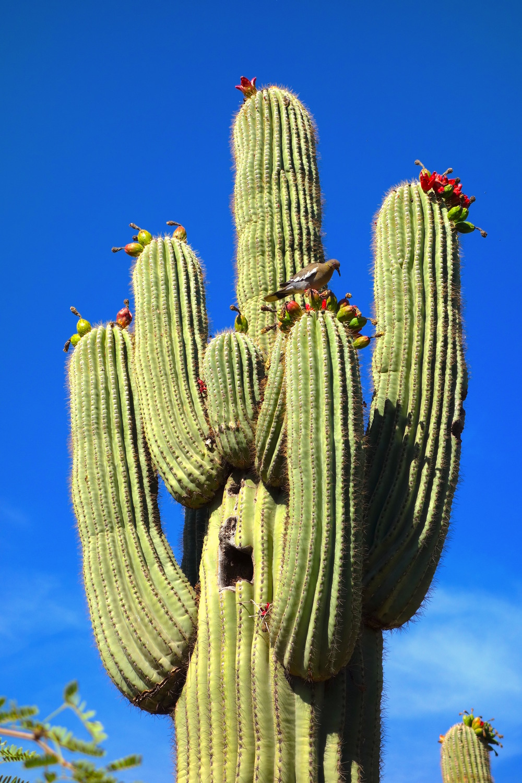 SaguaroCactus.jpg