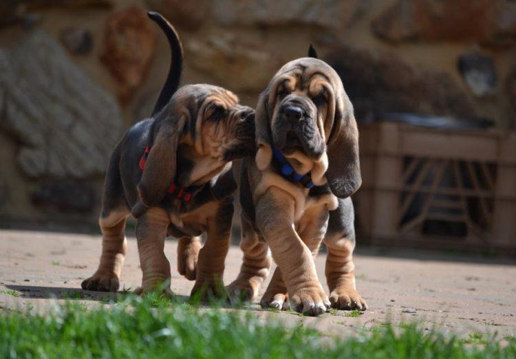Bloodhound_Puppies-750x522.jpg