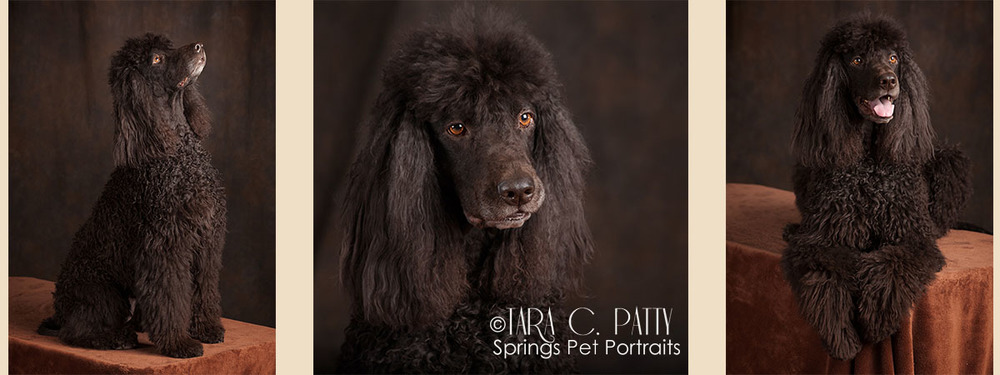"Pets have many moods or ""faces"" such as with this Irish Water Spaniel"