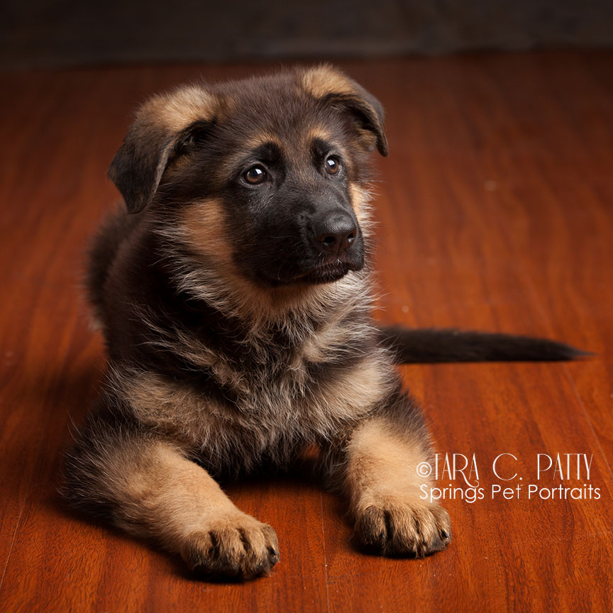 Rebel is a German Shepherd puppy about 8 weeks old in this portrait