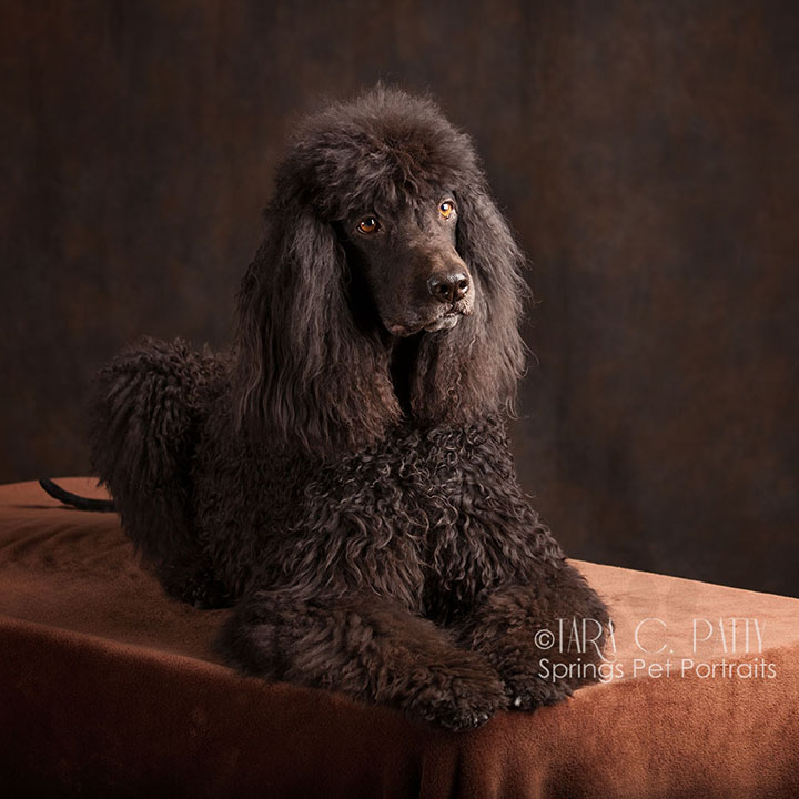 Irish-water-spaniel-pictures-in-Colorado-Springs.jpg