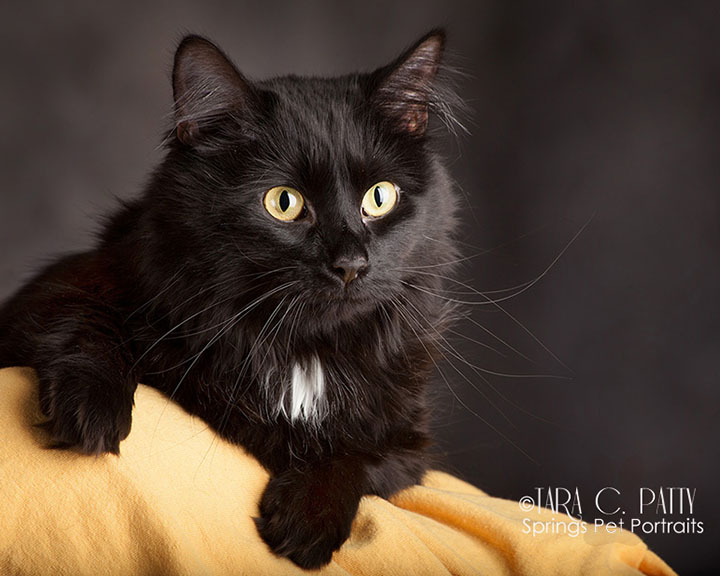 Classic-black-cat-portraits-Colorado-Springs.jpg