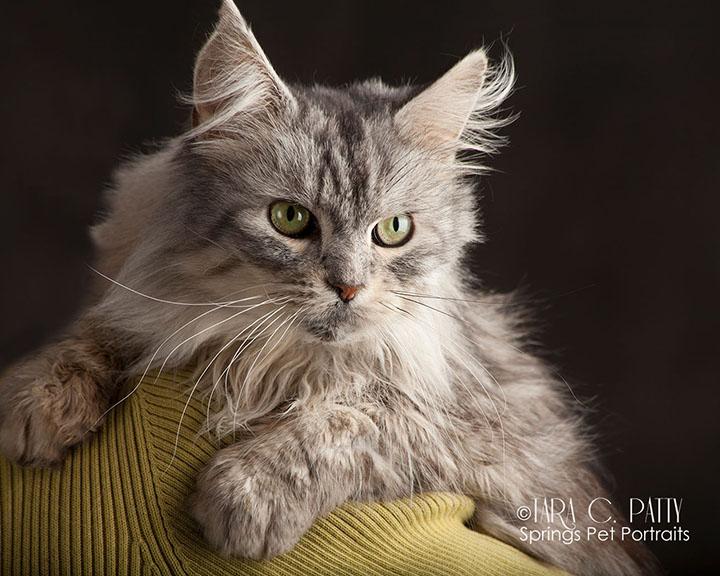 maine-coon-cat-photos-Colorado-Springs.jpg