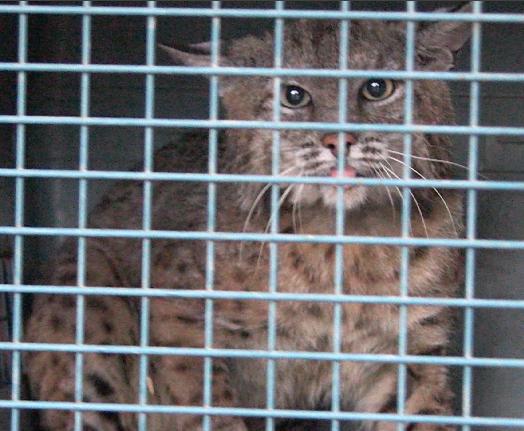Bobcat release 1.png