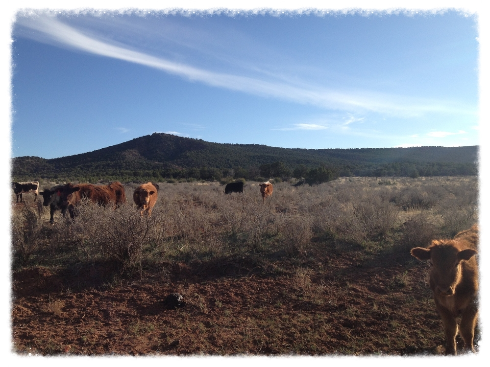 Bulls on pasture, Flying M Ranch (credit: Jeremy D. Krones)