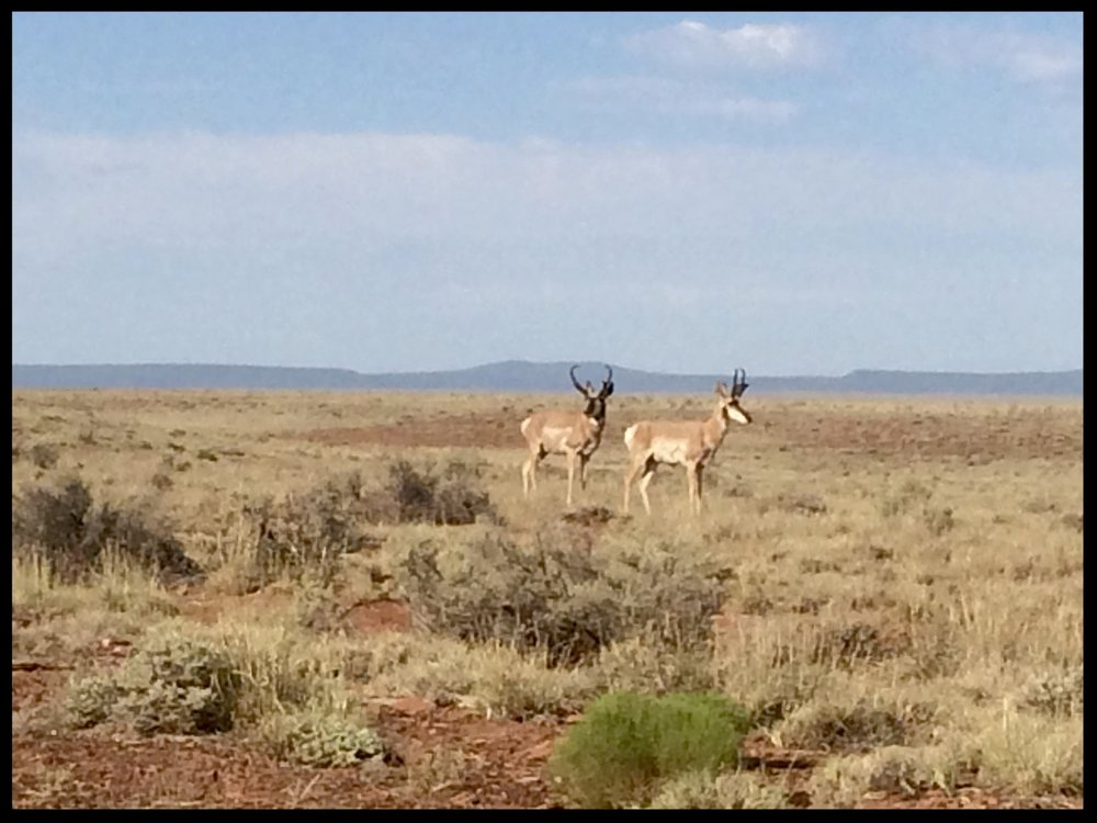 Two pronghorn antelope spotted on Bar T Bar Ranch in June.
