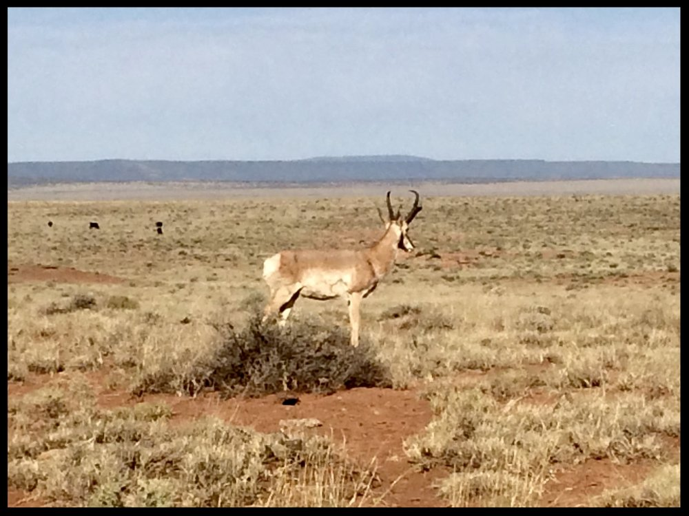 A pronghorn antelope spotted on a recent FRSG monitoring day on Bar T Bar Ranch