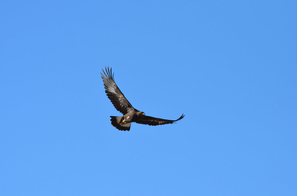 Golden eagle in flight (photo by Tuk Jacobson)