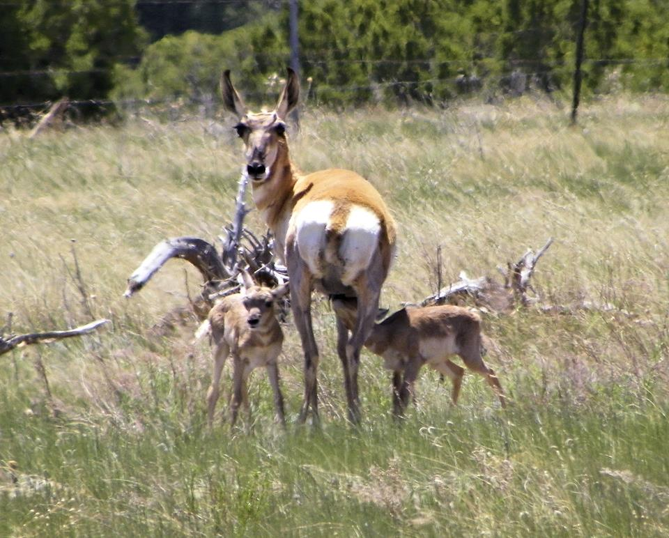 Proghorn antelope doe with twins