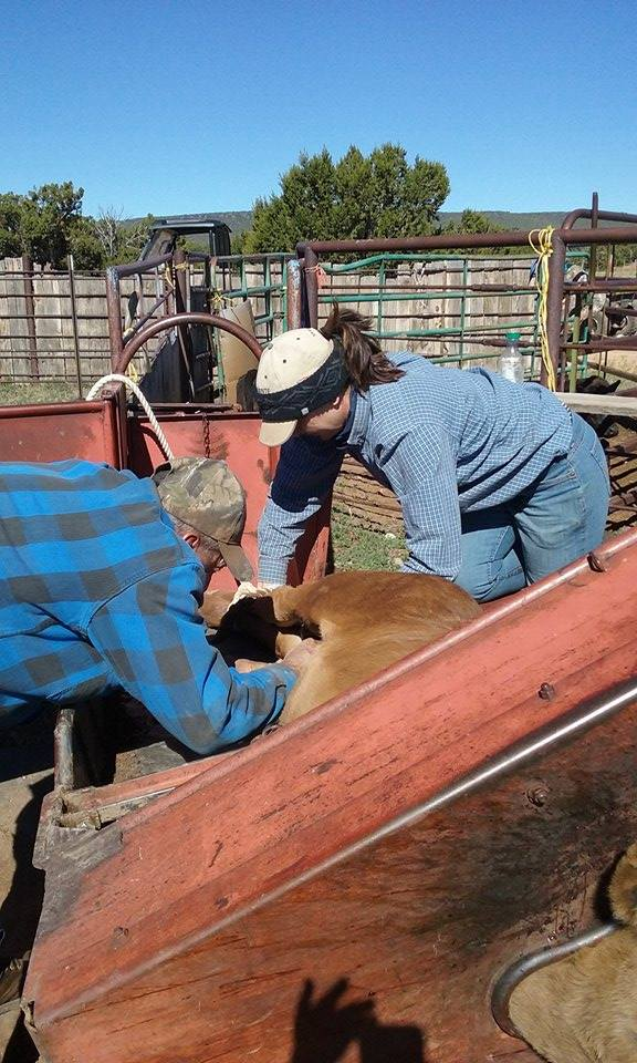 Danny and Kate working on a bull calf. Danny is in the process of applying a rubber band to the testes for castration. Kate is helping to hold the calf still - this is the calf table Sheila mentions in the article. You can see the calf's head in the bottom right of the picture.