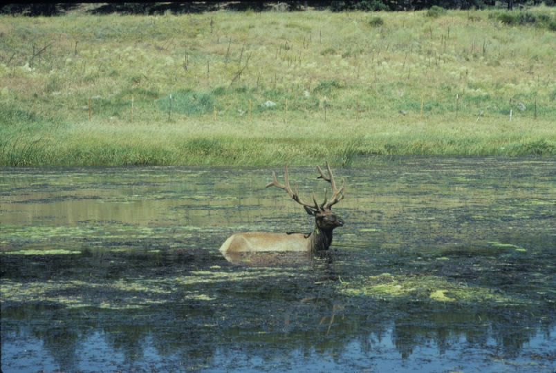 An elk taking a dip, from the Diablo Trust archives.