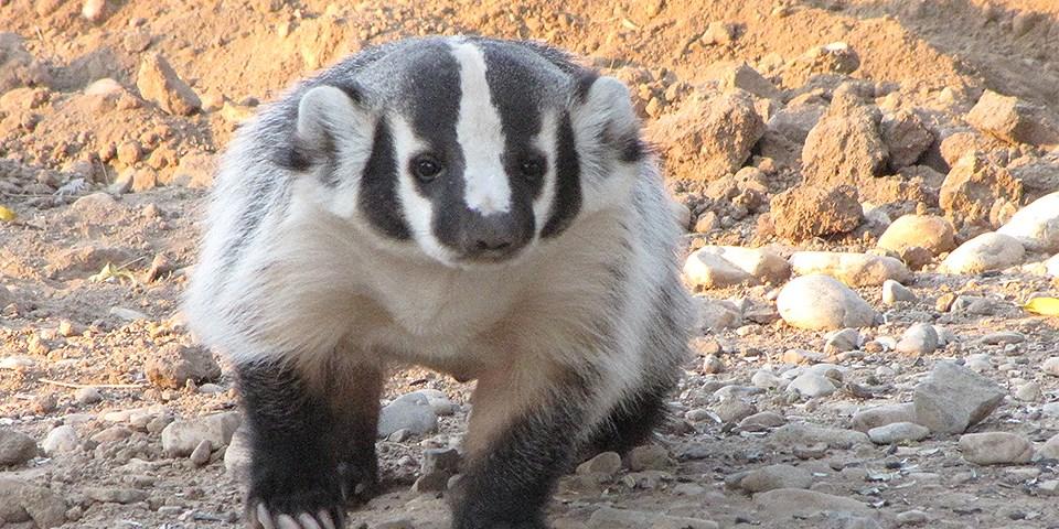 https://www.nps.gov/whsa/learn/nature/american-badger.htm
