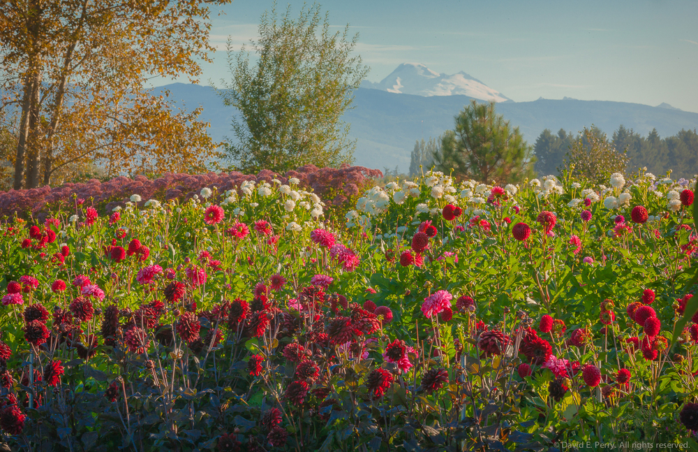 Skagit Valley, WA.                                                                                                Photographed by David E. Perry. Photograph provided by Seattle Wholesale Growers Market