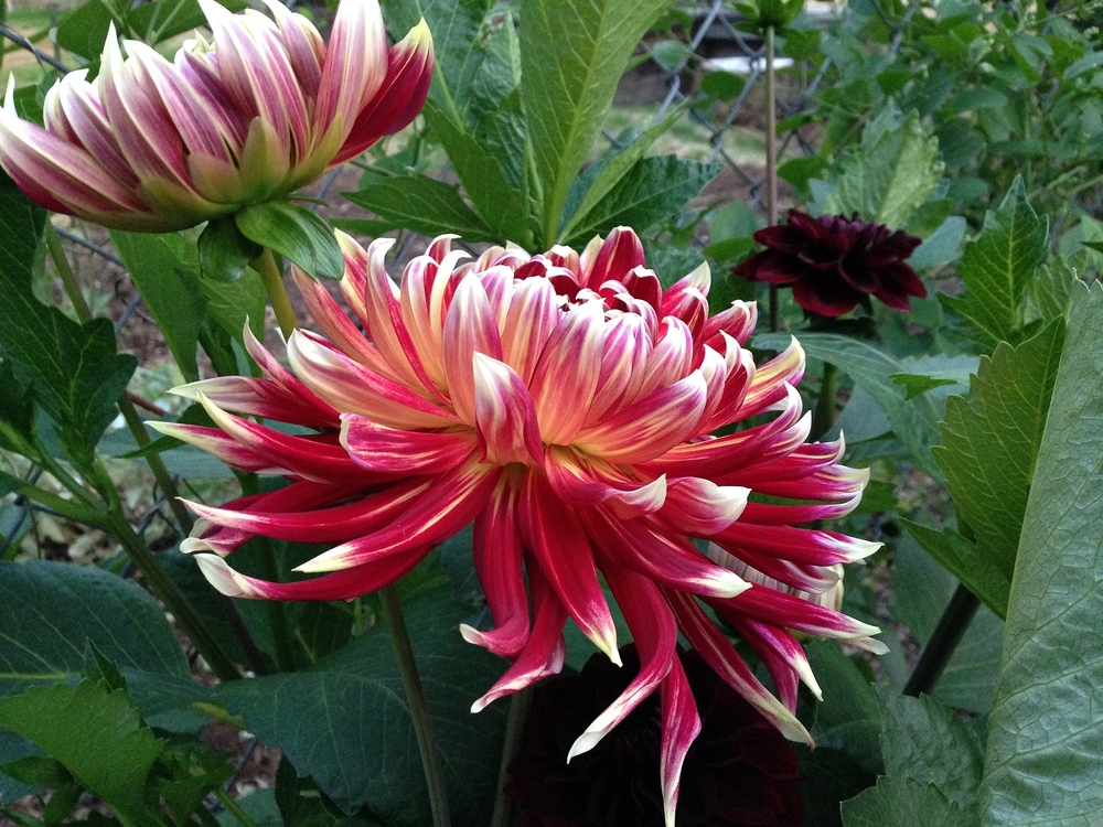 In the garden. Probably the last week with dahlias
