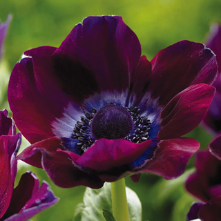 "Anemone-""Coronaria, burgundy"" So much going on in a single bloom. Would love to use these in a monocromatic ""plum and berry"" palette design with these flowers stretching above the rest. Photo source: K.Van Bourgondien & Sons, inc."