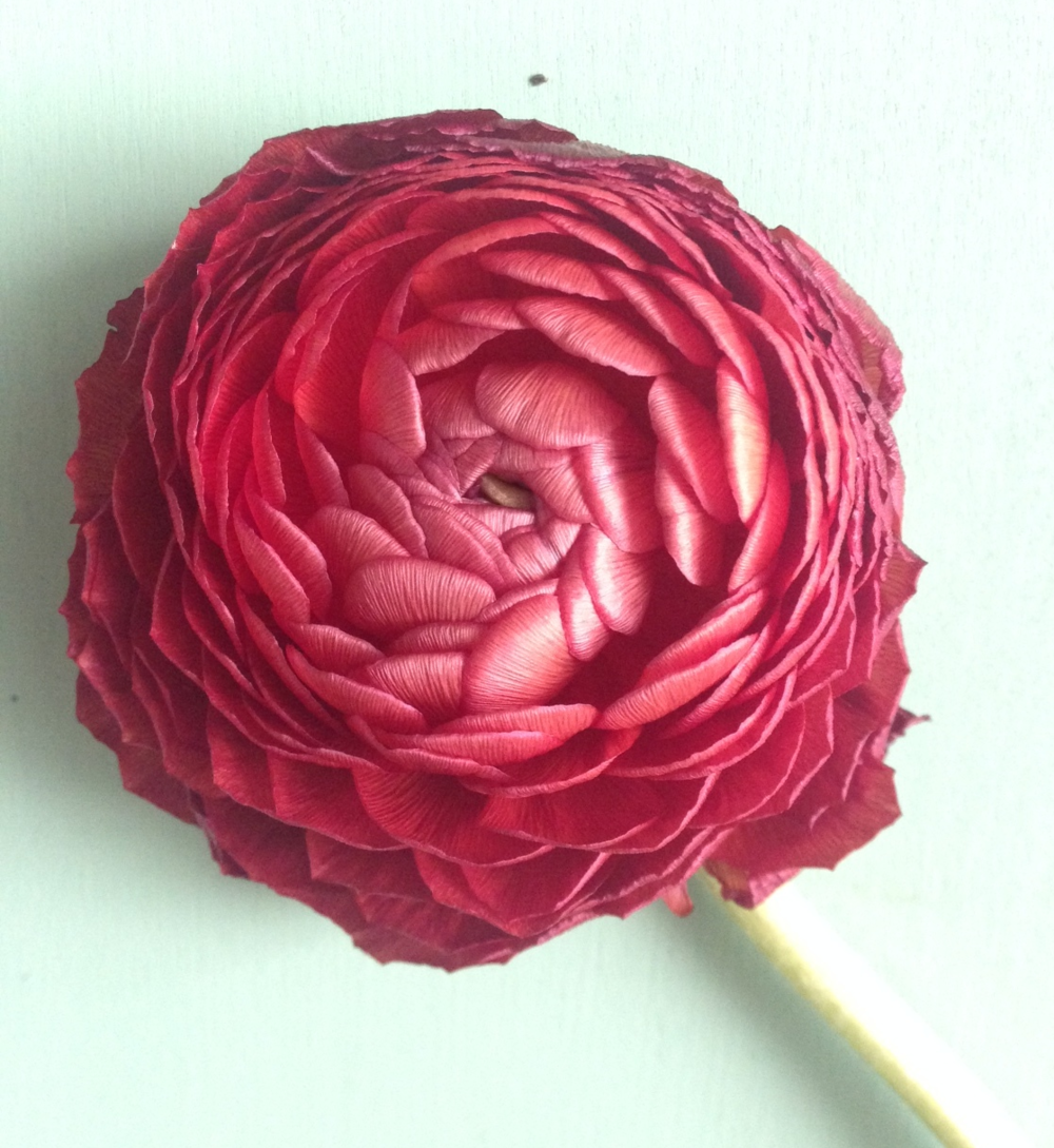 Ranunculus die beautifully.