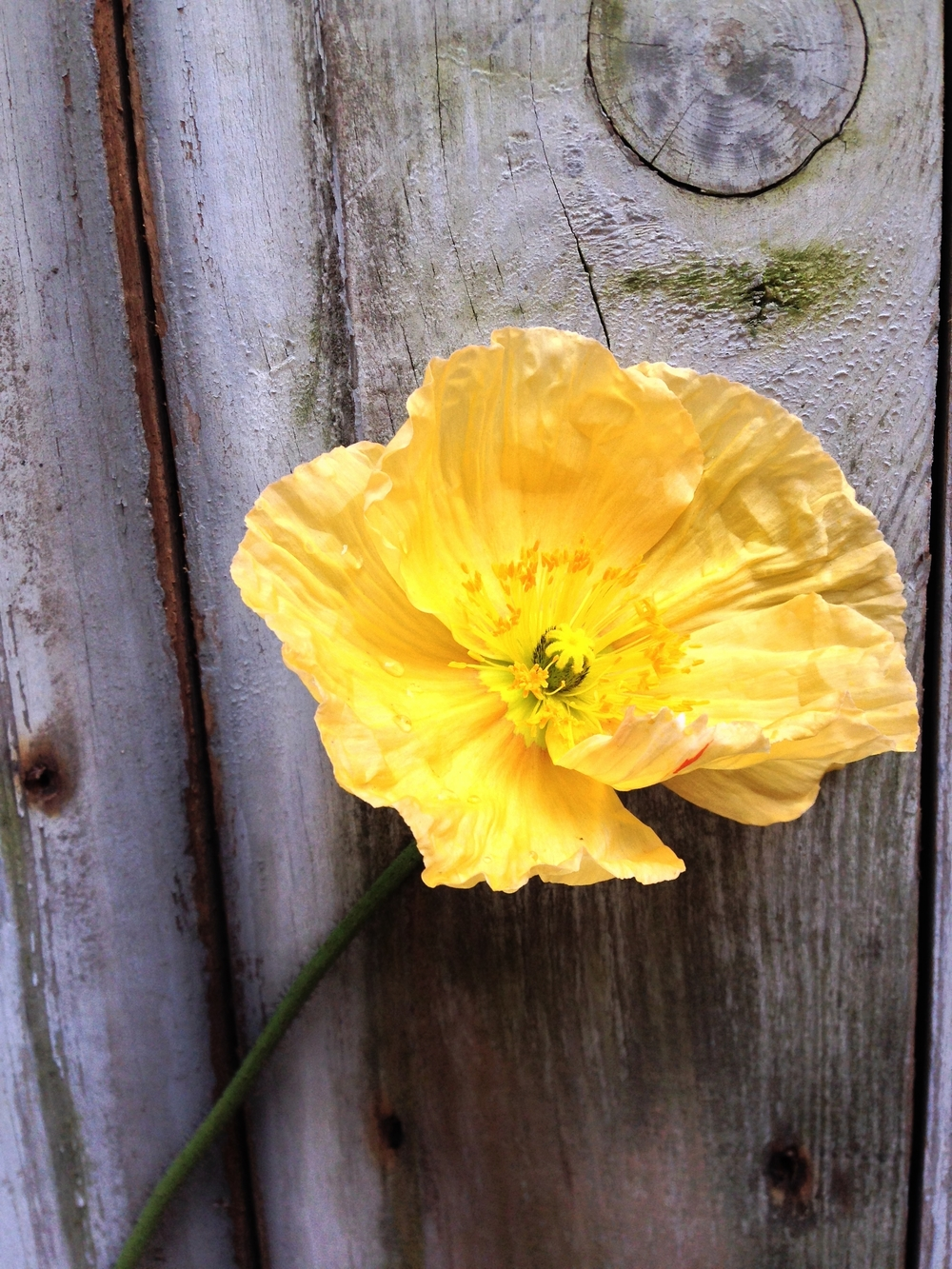 Icelandic poppy. So expressive in a bridal bouquet or floral arrangement. My favorite to work with.