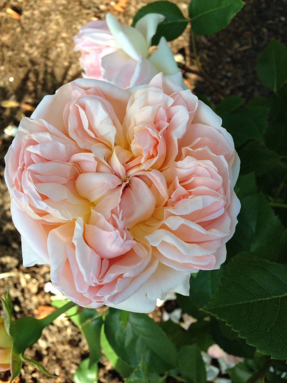 Evelyn  Garden Rose. David Austin roses are the best! If you have a sunny spot, plant one, two, three... you will continue to be in awe of these beautiful roses year after year.