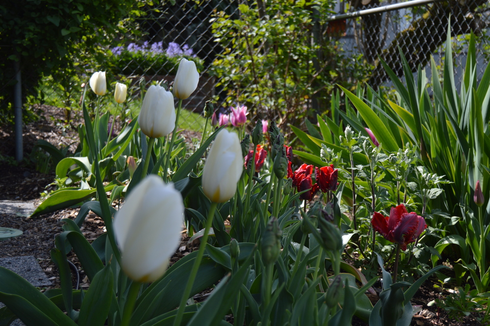 "The creamy tulips in the foreground are so large and scrumptious. Check them out in a few weeks spotlighted in a new blog post series I've titled ""A Beautiful Death."""