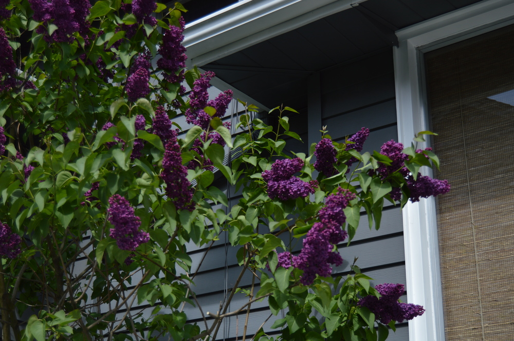 My lilac bush reaches about 15 feet high and is full of blooms right now. Wish blooming continued for a longer period, because without the flowers its not much to look at.