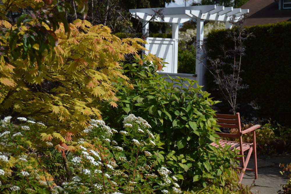 Spirea in front of my golden-hued Japanese maple that just recently unfurled its leaves.